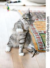 Hitting the target - Cute grey kitten swinging it\\\'s paw...