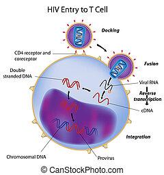 hiv, ingang, om te, t cel