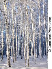 hiver, bleu, arbres bouleau, lumière soleil, troncs, ciel