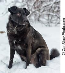 hiver, cabot, chien noir