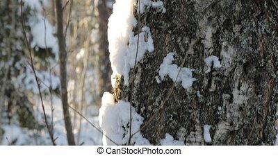 hiver, fond, sommet, arbre, forest., coffre, panoramique