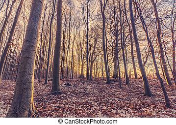 hiver, forêt, levers de soleil