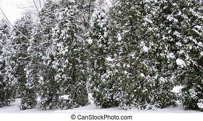 hiver, neige, arbres, arrière-plan vert, thuja, tomber