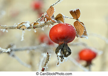 hiver, rose-hips, macro, gelée, sous, froid, rouges