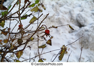 hiver, rouges, baie