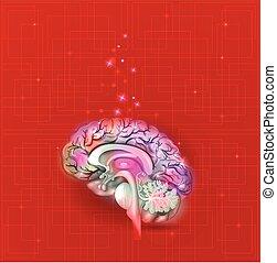 hjärna, abstrakt, mänsklig, bakgrund