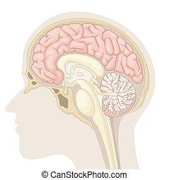 hjärna, avdelning, median, mänsklig