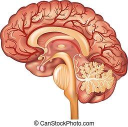 hjärna, blod kärl