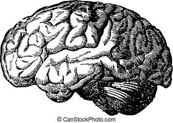 hjärna, engraving., årgång