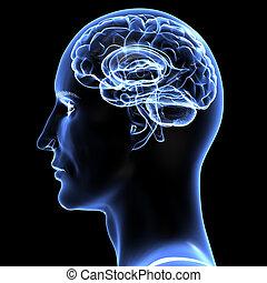 hjärna, illustration., 3, -