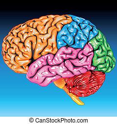 hjärna, lateral, mänsklig, synhåll