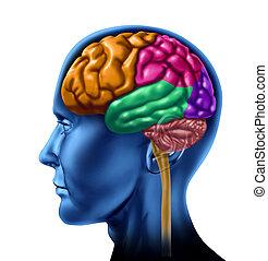 hjärna, lob, delar upp
