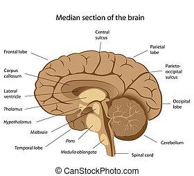 hjärna, mänsklig, eps8, anatomi