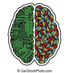 hjärna, mänsklig, halvor
