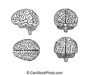 hjärna, mänsklig, vektor, skissera, illustration