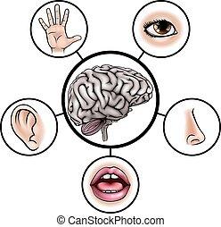 hjärna, sans, fem