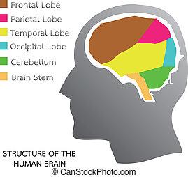 hjärna, struktur, mänsklig