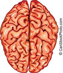 hjärna, topp, mänsklig, synhåll
