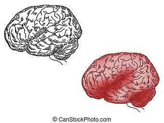 hjärna, vektor, illustration, mänsklig
