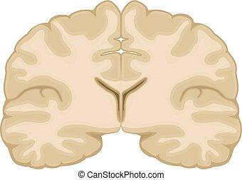 hjärna, vektor, mänsklig, illustration