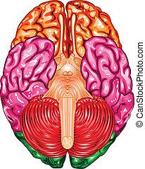 hjärna, vektor, mänsklig, undersida, synhåll