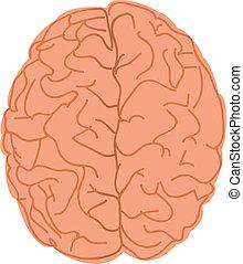 hjärna, vit, mänsklig, bakgrund