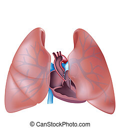 hjärta, avdelning, kors, lungan