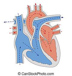 hjärta, genom, blod, framsteg