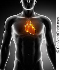 hjärta, glödande, bröstkorg, mänsklig