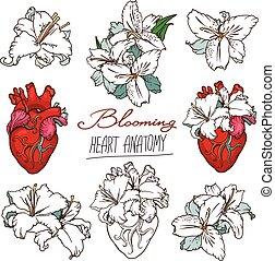hjärta, liljor, sätta, anatomisk, stylized, drawings., mänsklig, vit