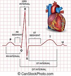 hjärta, mänsklig, normal, anatomi, rytm, bihåla