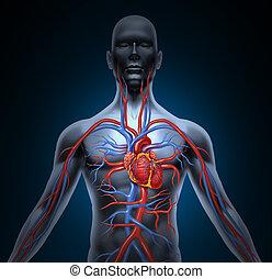 hjärta, mänsklig, omlopp