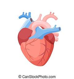 hjärta, organ, isolated., muskulös, anatomisk, mänsklig