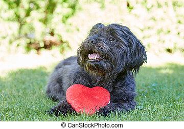 hjärta, valentinkort, hund, dag, svart, havanese, röd