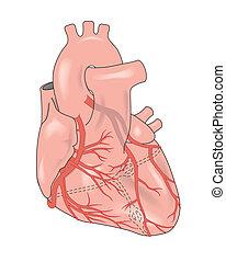 hjärta, visande, artärer, kransliknande