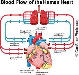 hjärta, visande, flödesdiagram, blod, mänsklig
