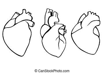 hjärtan, sätta, mänsklig