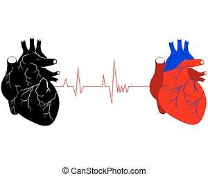 hjärtan, två, mänsklig