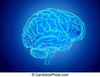 hjerne, menneske