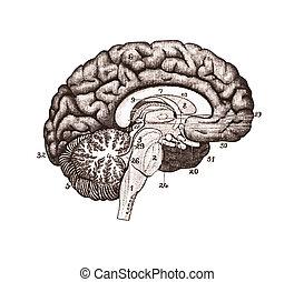 hjerne, sections., illustration