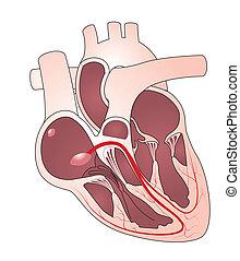 hjerte, lede, system