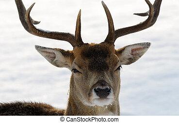 hjort, in, vinter