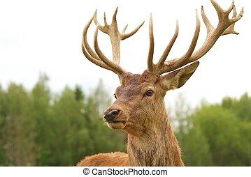 hjort, närbild