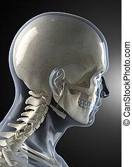 hlavička, mužský, lidský, rentgen