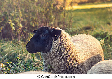 hlavička, prašivá ovce, suffolk, -, up, názor, krmivo, ...