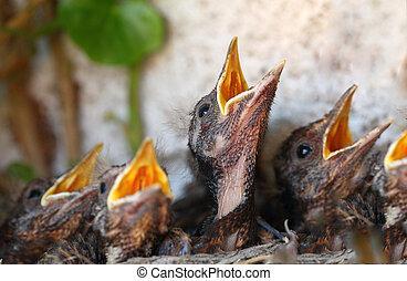 hnízdo, -, mládě, ptáci, euroasijský, kos, ptáček