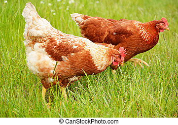 hněď, kuře, pastvina