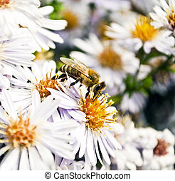 Hney bee collects flower nectar