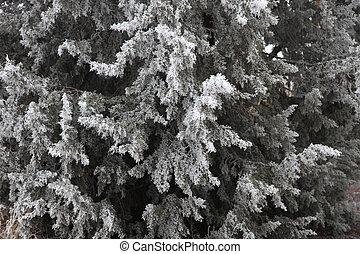 Hoar Frost Evergreen