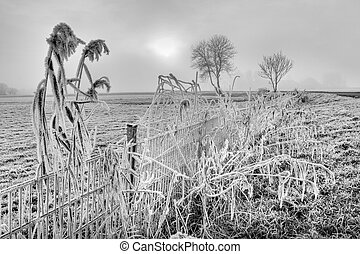 Hoar frost on reed near a fence in winter time